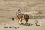 A man with draught oxen and sheep walks slowly along the sand road