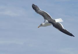 Cape Seagull